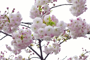 優美で華麗な満開の桜の花々の写真素材 [FYI01248784]