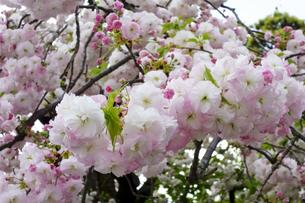 優美で華麗な満開の桜の花々の写真素材 [FYI01248785]