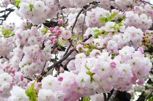 優美で華麗な満開の桜の花々の写真素材 [FYI01248786]
