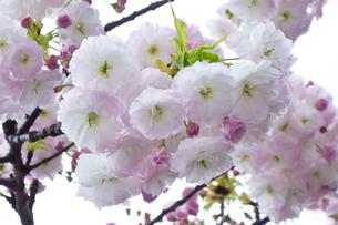 優美で華麗な満開の桜の花々の写真素材 [FYI01248787]