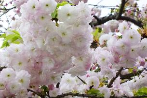 優美で華麗な満開の桜の花々の写真素材 [FYI01248789]
