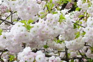優美で華麗な満開の桜の花々の写真素材 [FYI01248790]