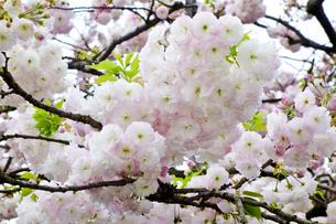 優美で華麗な満開の桜の花々の写真素材 [FYI01248792]