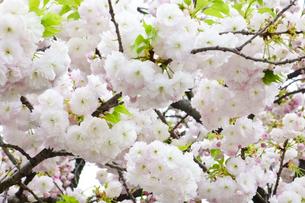 優美で華麗な満開の桜の花々の写真素材 [FYI01248793]