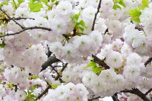 優美で華麗な満開の桜の花々の写真素材 [FYI01248794]