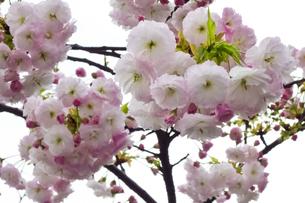 優美で華麗な満開の桜の花々の写真素材 [FYI01248796]