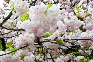 優美で華麗な満開の桜の花々の写真素材 [FYI01248797]