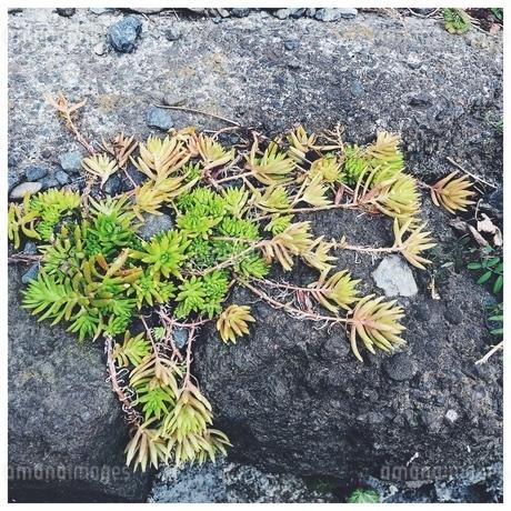 岩の上の植物の写真素材 [FYI01248809]