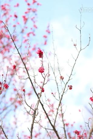 そらと梅の写真素材 [FYI01248839]