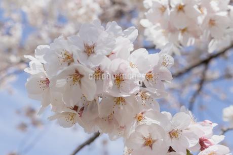 桜の写真素材 [FYI01248855]