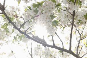 桜の写真素材 [FYI01248856]