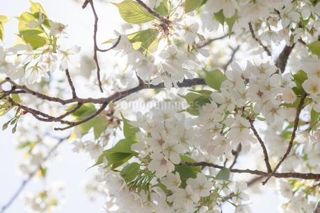 桜の写真素材 [FYI01248857]