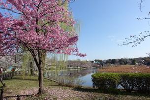 不忍池の桜の写真素材 [FYI01248923]