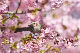 河津桜のヒヨドリの写真素材 [FYI01248943]