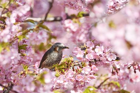 河津桜のヒヨドリの写真素材 [FYI01248946]