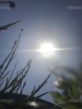 太陽まで届け 雑草の力の写真素材 [FYI01248984]