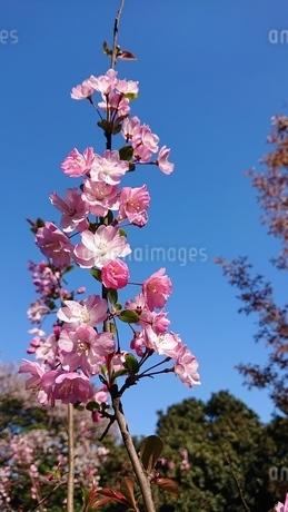 桜の花の写真素材 [FYI01249001]