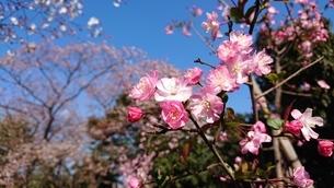 桜の花の写真素材 [FYI01249003]