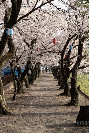 桜並木の写真素材 [FYI01249009]