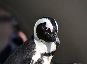 艶艶して若々しいケープペンギンの写真素材 [FYI01249015]