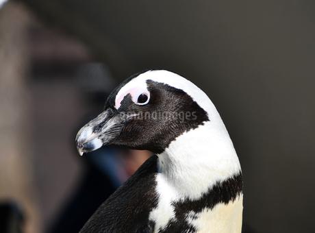 艶艶した若々しいケープペンギンの写真素材 [FYI01249016]