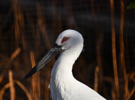 白い毛と眼が生き生きのコウノトリの写真素材 [FYI01249017]