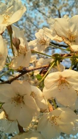 満開の桜の写真素材 [FYI01249053]