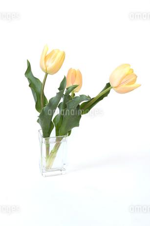 ガラス花瓶に挿したチューリップの写真素材 [FYI01249058]