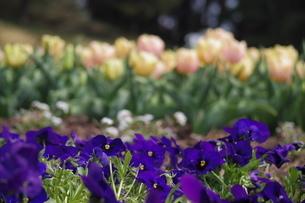 紫の花の写真素材 [FYI01249142]