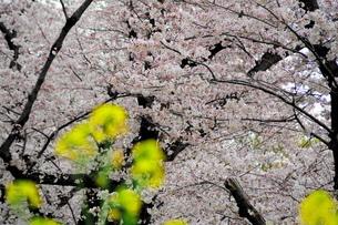 桜と菜の花の写真素材 [FYI01249143]