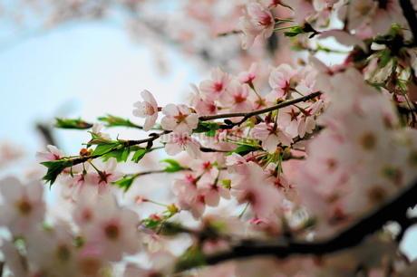桜の花の写真素材 [FYI01249144]