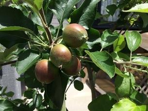 庭先のりんごの写真素材 [FYI01249174]