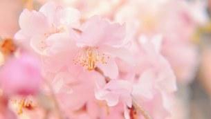 桜の花びらの写真素材 [FYI01249215]