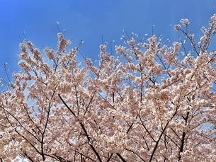 桜の写真素材の写真素材 [FYI01249216]