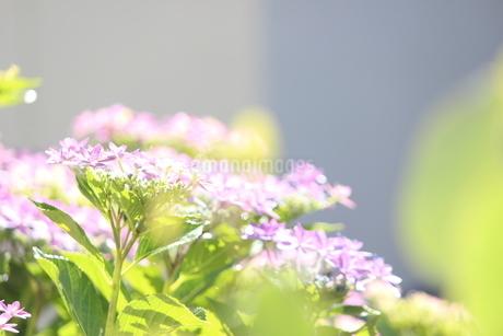 紫陽花(明るい)の写真素材 [FYI01249238]