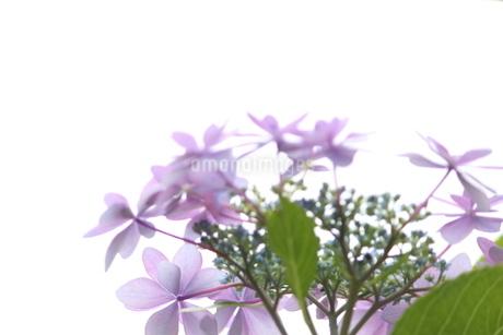 紫陽花(明るい)2の写真素材 [FYI01249240]