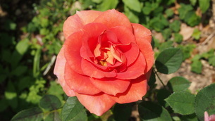 大輪のバラの写真素材 [FYI01249406]