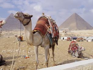 【エジプト】クフ王のピラミッドの前でご機嫌なラクダの写真素材 [FYI01249430]