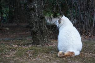 白猫のイメージの写真素材 [FYI01249485]