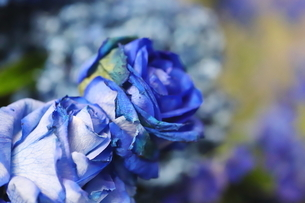 青いバラのフラワーアレンジメントの写真素材 [FYI01249559]