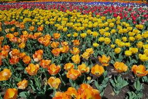 チューリップの花畑の写真素材 [FYI01249569]