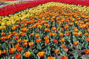 チューリップの花畑の写真素材 [FYI01249570]