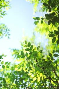 新緑と青空の写真素材 [FYI01249675]