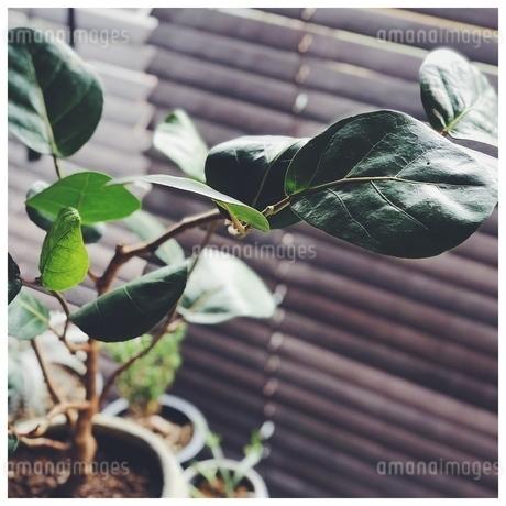 シーグレープの葉の写真素材 [FYI01249955]