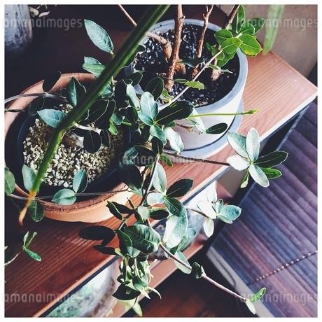 棚の上の植物の写真素材 [FYI01249956]