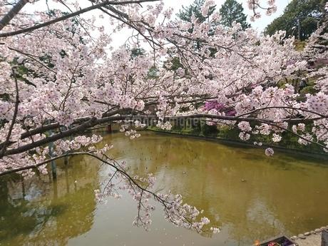 桜の写真素材 [FYI01249960]