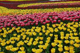 チューリップの花畑の写真素材 [FYI01250351]