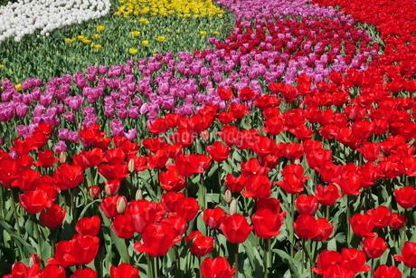 チューリップの花畑の写真素材 [FYI01250352]