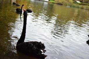州の鳥黒鳥の写真素材 [FYI01250458]