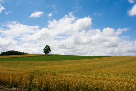 丘の上のシラカバの木と夏空の写真素材 [FYI01250500]